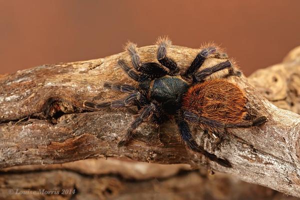 Greenbottle Blue Tarantula by Louise_Morris