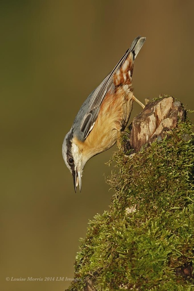 Nuthatch by Louise_Morris