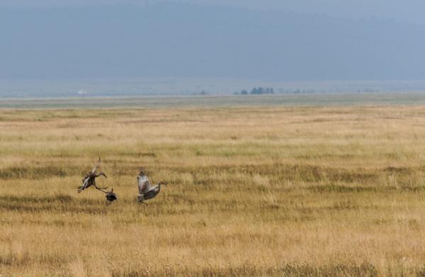 sandhill cranes by wm
