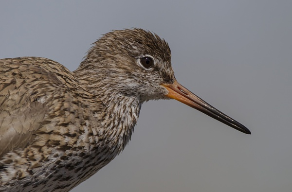 redshank by GRAYCLEMENTS
