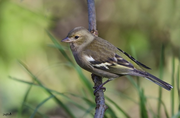 Chaffinch - Female : Fringilla Coelebs by Jefflor