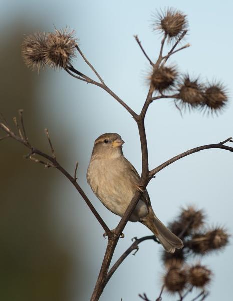 Sparrow by 10delboy