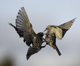 Starling scrap..