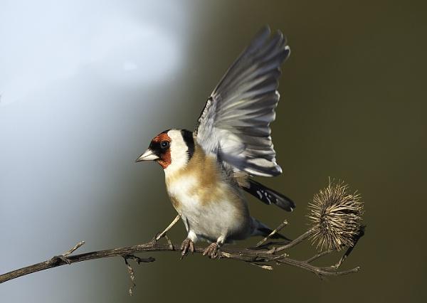 Goldfinch again.. by 10delboy