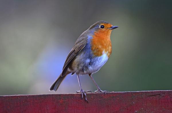 Red Robin by fargon