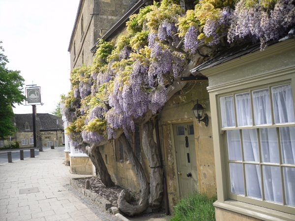 Old Wisteria in Broadway, Cotswolds by eddiemat