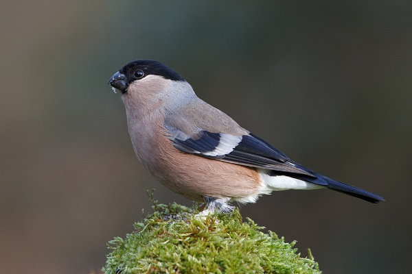 Female Bullfinch (Pyrrhula pyrrhula) by DerekL