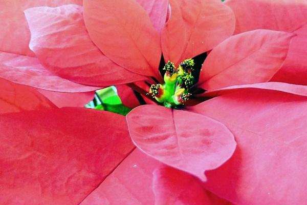Poinsettia by Joline