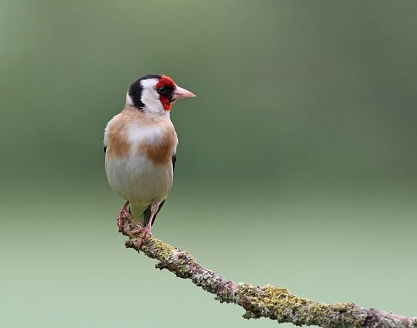 Goldfinch by lawbert