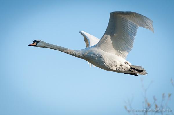 Swan flight by Trev_B