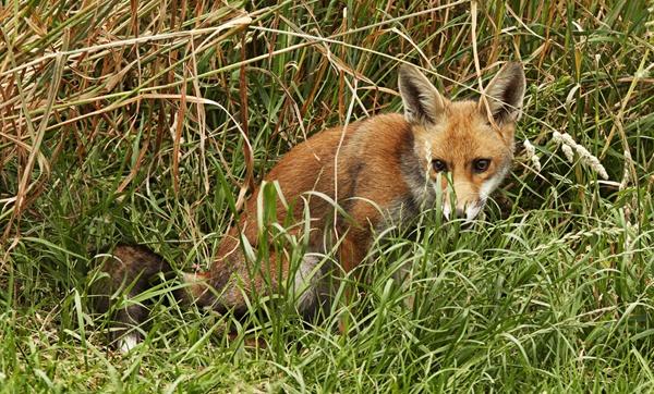 FOX IN THE GRASS by Graham_Woolmer