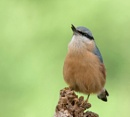 Nuthatch by FeatherFriend