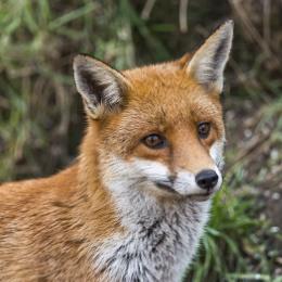 Salthome fox