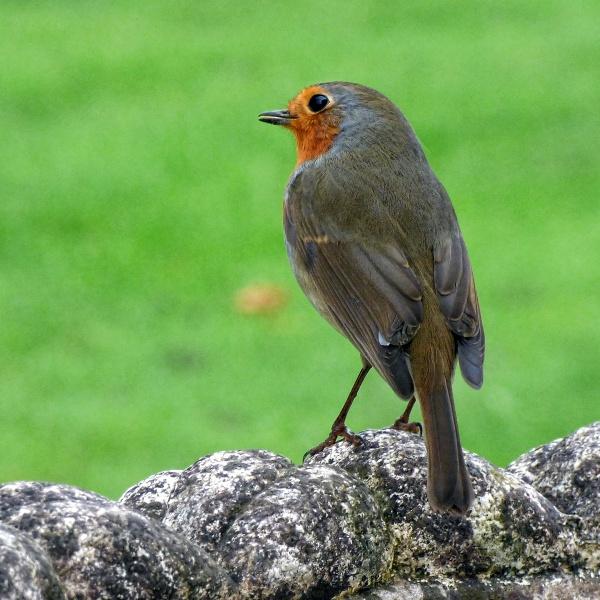 Christmas Robin by Mynett