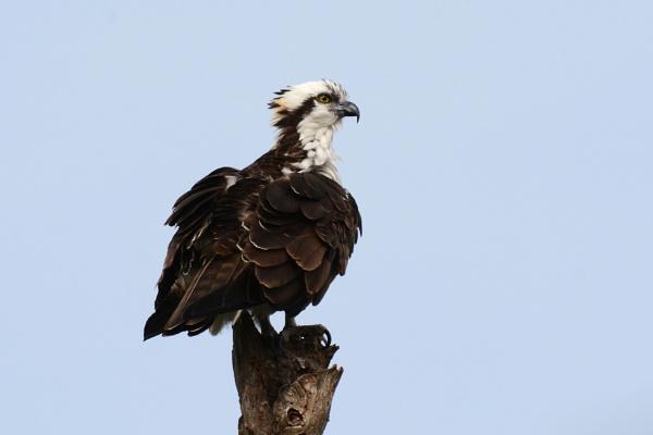 Osprey by richmowil