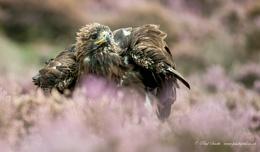Male Golden Eagle in Heathland