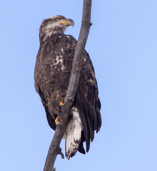 juvenile bald eagle by wm