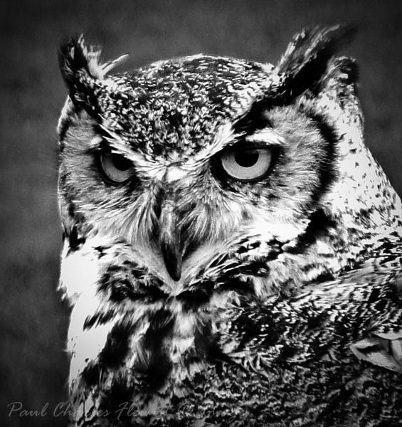 Long Eared Owl by Paulspix