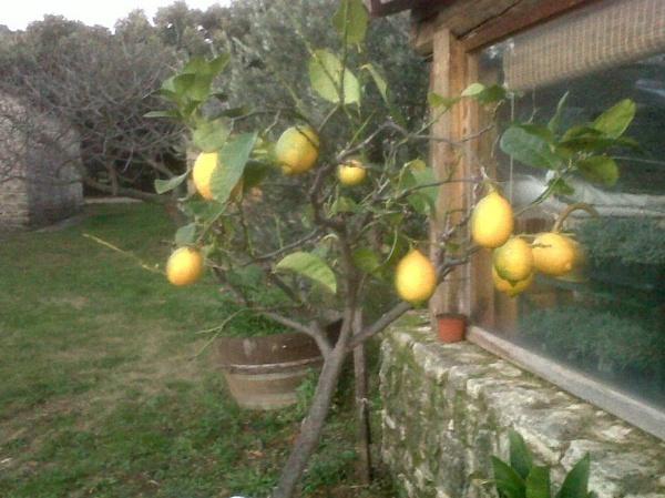 Lemon Tree in December in Provence. by SabineFaureSAMlle