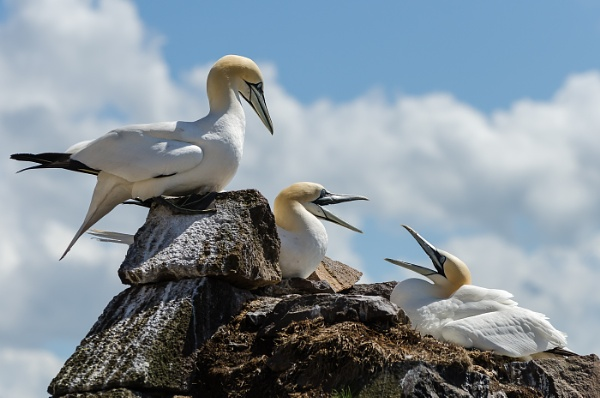 Bass Rock Gannets by AnneB50