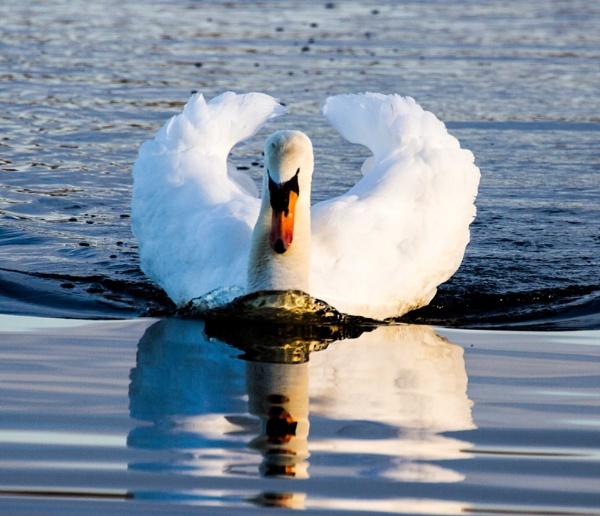 Xmas Swan by Dingus