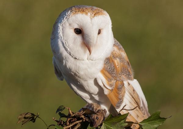 Barn Owl by RobertTurley
