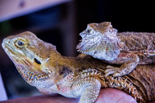 Bearded Dragons by Teaka53