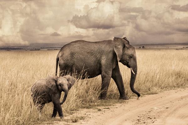 Masai Mara elefant by rhikal