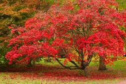 Silkwood Acer