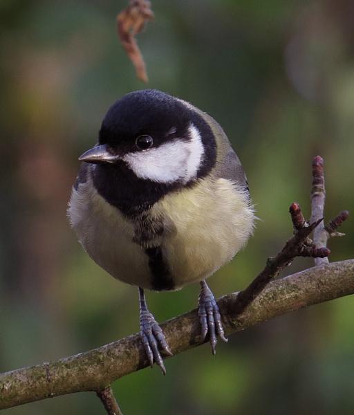 Small Tit Bird. by chensuriashi