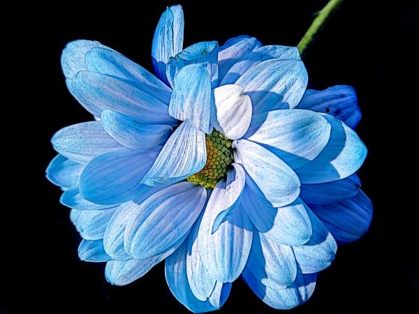 2831-blue flower by binder1