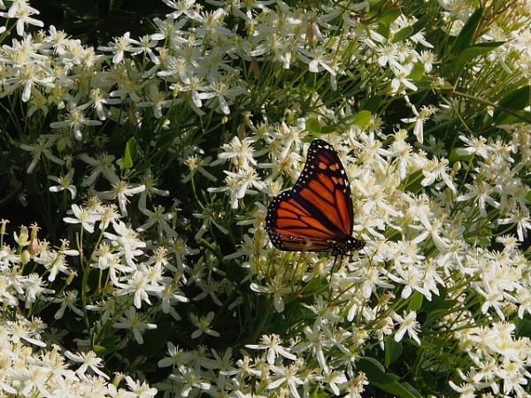 Monarch Butterfly by handlerstudio