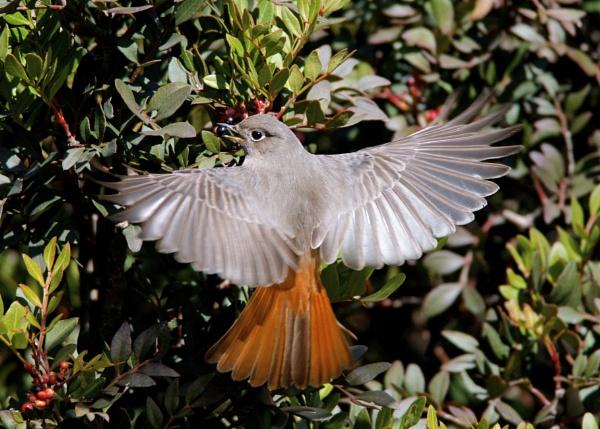 Redstart female by alcontu