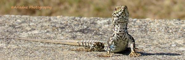 Common wall lizard basking on French sun............. by SvetAriadne