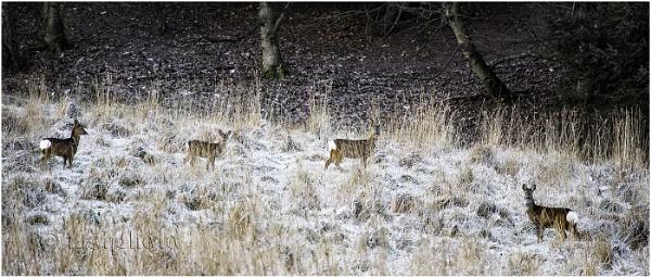 Roe Deer Group by Mstphoto