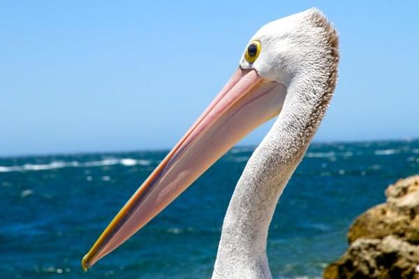 Pelican by cheddar-caveman