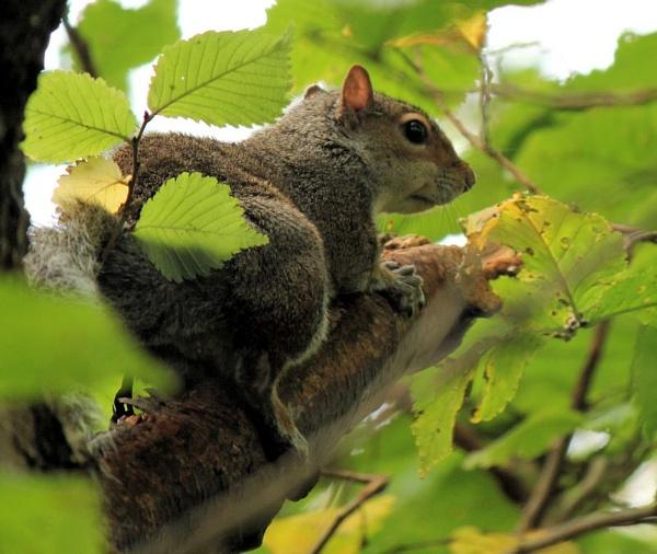 Bushy Tailed Rat by ScottishHaggis