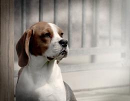 Ella (Beagle)