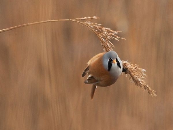 Male Bearded Tit by fishiee