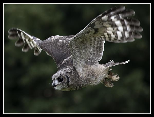 Abbysinian Eagle Owl by Cynog