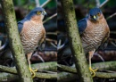 Sparrowhawk  : Accipiter Nisus by Jefflor