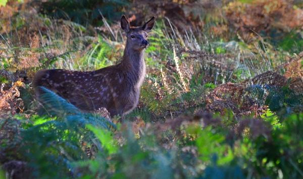 Fallow Deer by davet2