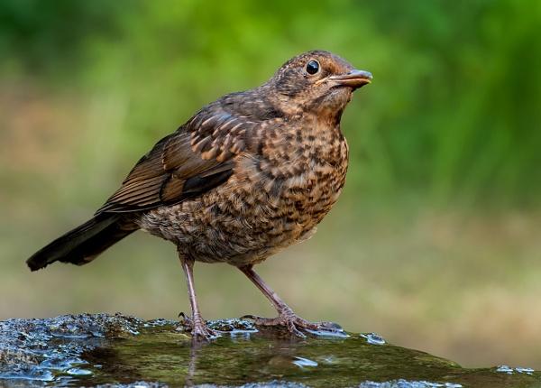 Blackbird - Turdus merula by Mike_Young