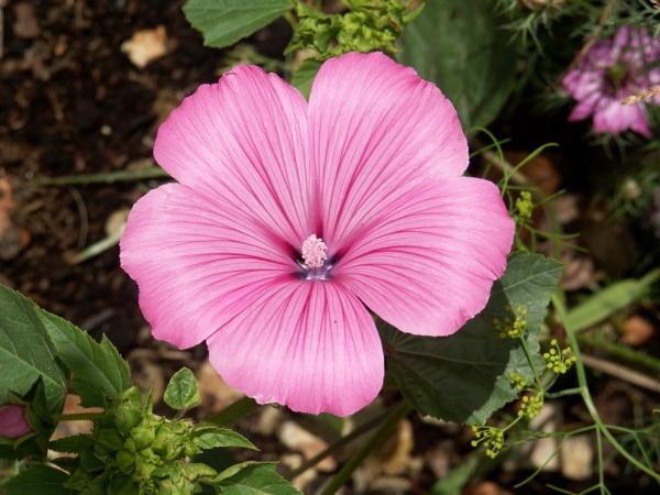 pink Lavatera by angiephoto