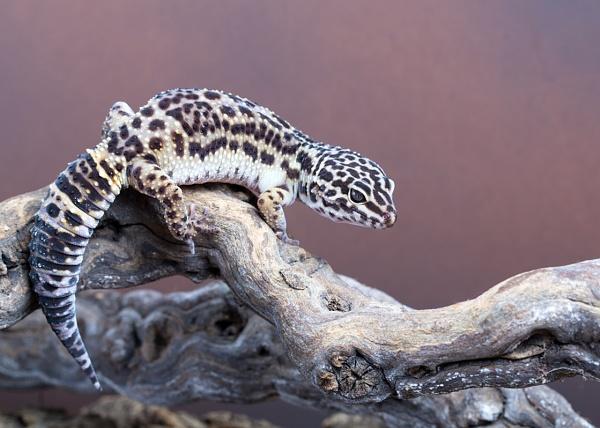Leopard Gecko on the Run! by Lillian