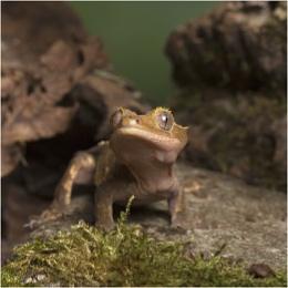 Crested Gecko ...attitude!