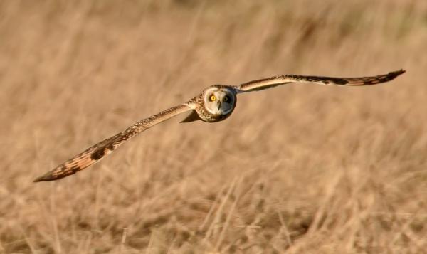 Short eared owl by rsjkinson