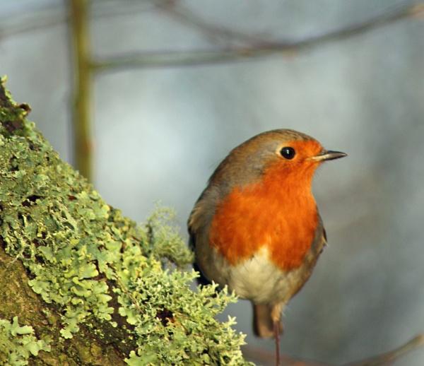Robin by john calderbank