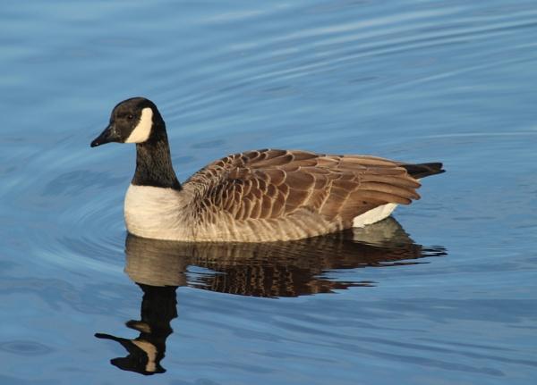Goose by john calderbank