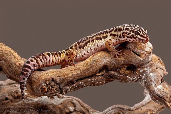 Leopard Gecko by Louise_Morris